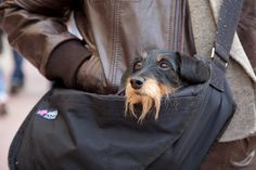 We've met Thandie, the wire-haired dachshund before.  I bumped into her on the pedestrian street in Menton a couple of days ago - reckon sh...