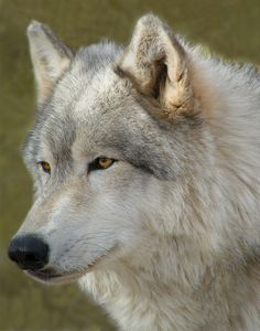 ~ GORGEOUS ~ Interactive Wolf Educational Tours - Wolf Mountain Sanctuary