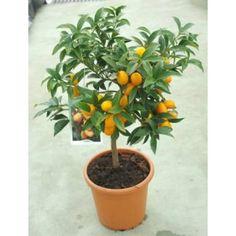 Negami kumquat