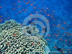 Red Sea many small red fish swims near coral red.