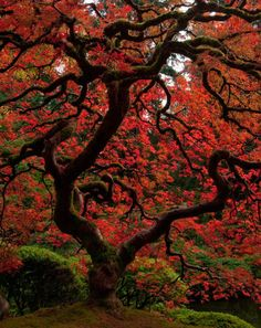 Plotting a Japanese maple to replace our Willow. I'm sure ours will start out much smaller. Hdr Photography, Japanese Maple, Perfect World, Amazing Nature, Pretty Pictures, Beautiful World, The Great Outdoors, Beautiful Flowers, Natural Beauty
