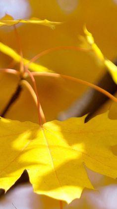 Nature Fall Autumn Yellow Leaf Macro iPhone 6 wallpaper