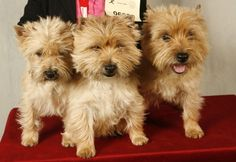 Cairn Terrier trio