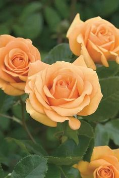 """Simply the best"" roses. David Austin roses on FB"
