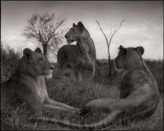 Lion Circle by Nick Brandt