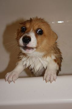 Did you know that corgis turn into gremlins when you get them wet? Find the best Corgi things exclusively at Corgilover. Cute Corgi Puppy, Corgi Dog, Cute Puppies, Cute Dogs, Dogs And Puppies, Teacup Puppies, Doggies, Husky Puppy, Pomeranian Puppy