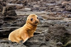 Little Sea Lion in the Galapagos Islands.