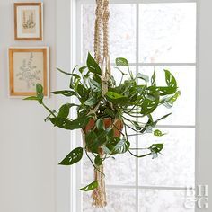 Create a tropical getaway in your living room with Monstera deliciosa. Occasionally called Swiss cheese plant, Monstera produces huge, bright green, attractively cut leaves. Monstera has a dense, bushy shape, but over time, it will begin to stretch and climb a trellis or wood totem. If you want to keep the plant compact, simply prune back the vining branches. Water Monstera whenever the soil feels dry to the touch, and fertilize once a month during the spring and summer.