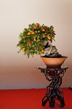 beautiful twisting bonsai fruit tree trunk