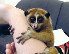 Slow loris - Here's our list of the world's most adorable endangered species — but not all of them are ideal for cuddling. Cute Animals With Funny Captions, Cute Animals Puppies, Cute Animal Memes, Cute Animal Videos, Cute Animal Drawings, Cute Animal Pictures, Cute Baby Animals, Animal Pics, Humor Animal