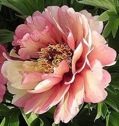 Itoh Peonies Hillary, Peony Farm, Wa, Itoh Peonies For Sale Amazing Flowers, Pink Flowers, Beautiful Flowers, Exotic Flowers, Yellow Roses, Pink Roses, Pink Peonies, Peony Flower, Flower Art