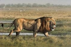 Swamp Lion by Fuz-Caforio-Art