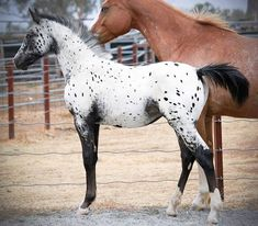 Appaloosa foal, what a beautiful horse!