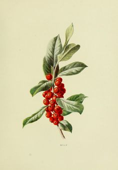 Wild fruits of the country-side,. Illustration Botanique, Plant Illustration, Watercolor Illustration, Botanical Drawings, Botanical Prints, Holly Plant, Flower Art Drawing, Fruits Images, Fruit Art
