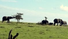 Os Masai se queixam que os elefantes não deixam as árvores do parque se recuperarem. Os elefantes comem tudo e quebram o resto.