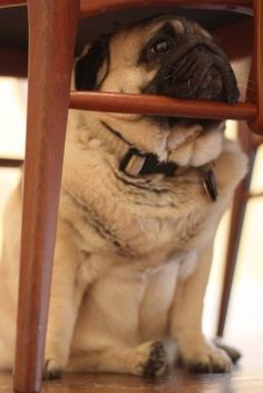Pugs love to rest their chins anywhere