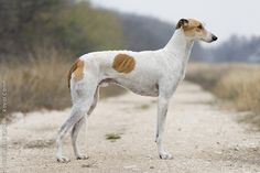 Hungarian Greyhound.