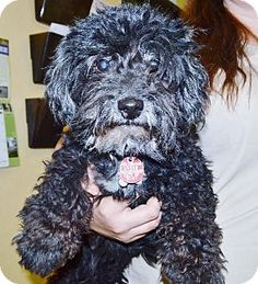 Adorable! Help me quickly! San Jacinto, CA - Poodle (Miniature) Mix. Meet Tootsie a puppy Dog for Adoption.