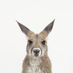 I've been a fan of Sharon Montrose ever since I saw her animal photos. Here are some baby animal photos that are equally irresistible. This baby kangaroo, for example. Just look at those wee lashes!