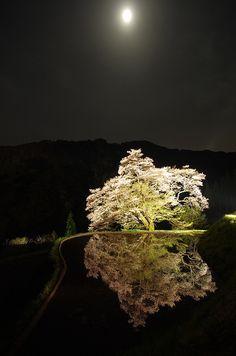 Cherry Blossom, Nagano, Japan 駒つなぎの桜 #桜 #CherryBlossom