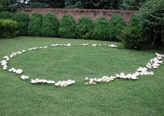 Fairy rings are one of nature's many strange phenomena, encouraging a great deal of speculation specifically within folklore due to their striking appearance. Modern mycology (the study of fungi) can easily explain the unusual appearance of fairy rings. Clematis Armandii, Plantas Bonsai, Fairy Ring, Slime Mould, Mushroom Fungi, Giant Mushroom, Amazing Nature, Faeries, Science Nature