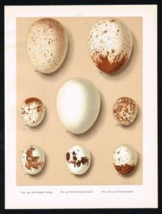 1894-GOLDEN-and-WHITE-TAILED-EAGLE-SPARROW-HAWK-EGGS-Antique-Lithograph-Print