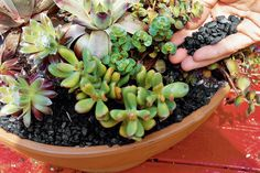 Step Four - How To Plant Succulents in Containers - Southernliving. Sprinkle dark-colored aquarium gravel around each plant so the soil is covered.
