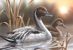 Duck art, pintails, pintail art, wildlife art by painter and designer Thomas Wood.