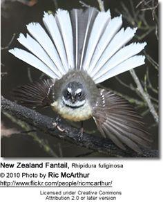 New Zealand Fantail, Rhipidura fuliginosa (Photo: Ric Arthur) New Zealand Houses, Nz Art, Maori Art, Natural Instinct, Kiwiana, Nature Journal, Bird Drawings, Biomes, Reptiles And Amphibians
