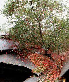 CherryPLUS. Kirschen Bäume
