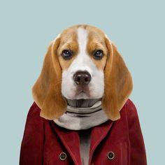 Beagle - Zoo Portraits