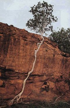 Tree roots in the cliff
