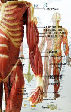 筋肉 腕 深層