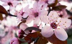Resultado de imagen de sakura