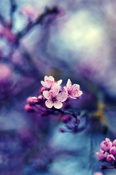 Fleurs de cerisier <3 ***