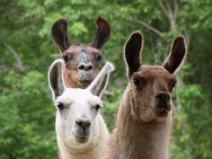 3 llamas, they are such lovely, spiritual creatures