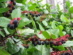 Salal or Shallon - a low growing evergreen shrub that fruits in the shade. The berries taste like smaller blueberries.