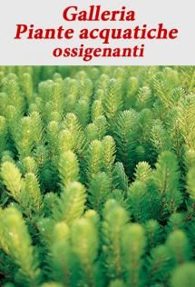 Ninfea piante acquatiche pinterest for Piante da laghetto ossigenanti