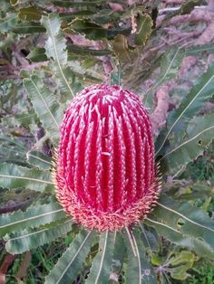 Garden Flowers - Annuals Or Perennials Australian Native Plant - Banksia Australian Native Flowers, Unusual Flowers, Amazing Flowers, Australian Plants, Native Garden, Unusual Plants, Australian Wildflowers, Rare Flowers, Native Plants