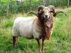 The Drenthe Heath is the oldest sheep breed of the Western Europe continent.