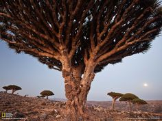 Dragon's Blood Trees Picture -- Landscape Wallpaper -- National Geographic Photo of the Day Dragon Blood Tree, Legendary Dragons, Landscape Wallpaper, Growing Tree, National Geographic Photos, Tree Of Life, Life Is Beautiful, Beautiful Places, Photo Galleries