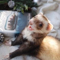 / pin: itswandressa - Tap the link now to see all of our cool cat collections! Ferrets Care, Baby Ferrets, Funny Ferrets, Pet Ferret, Cute Baby Animals, Animals And Pets, Funny Animals, Tier Zoo, Cute Creatures