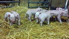 A litter of Duroc x Yorkshire piglets was born at Lake Metroparks Farmpark this morning! http://lakemetroparks.com/select-park/farmpark