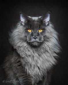 Beautifully Stunning Portraits of Maine Coon Cats by Robert Sijka. l  #mainecoon #portraits #gentlegiants