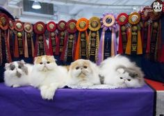 Persian cat Grooming For Show at Grooming Space Pet Hotel & Salon