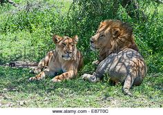 Image result for pair of lions and tree