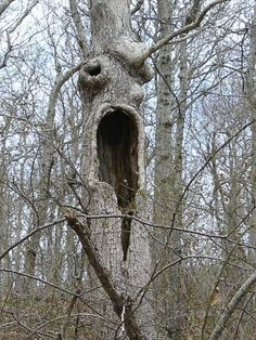 Old Trees Face Trees - Old trees face , altes baumgesicht , vieux arbres face , cara de árboles viejos , old t - Weird Trees, Spooky Trees, Haunted Tree, Haunted Forest, Halloween Trees, Creepy Halloween, Magical Tree, Magical Forest, Tree People