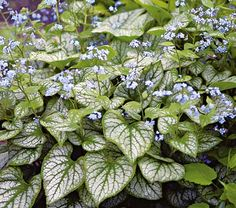 """Brunnera macrophylla Jack Frost - White Flower Farm Quick Facts  Common Name: Siberian Bugloss; Heartleaf Bugloss  Hardiness Zone:  3-8 S / 3-8 W  Height: 12""""  Deer Resistant: Yes  Exposure: Full or Part Shade  Blooms In: May-June  Spacing: 15-18""""  Ships as: 3"""" Plastic Pot - 25.8 cu. in."""