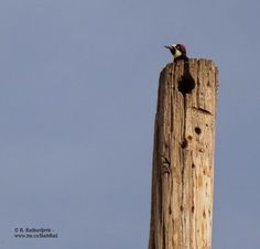 Acorn Woodpecker from  Capturing the Paso Robles Area with My Camera: A Photo Walk Through the Vineyards of Zenaida Cellers