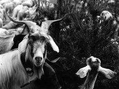 Robert Doisneau The Goat 1958 Henri Cartier Bresson, Robert Doisneau, Leica, Legion Of Honour, Make Photo, French Photographers, Mundo Animal, Paris Street, Photo Archive